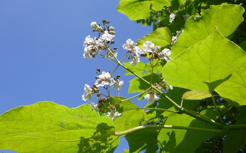 weiße blüte vor strahlend blauem himmel