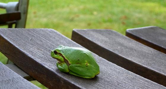 ein schönes exemplar des laubfrosch sitzt auf einem stuhl im kaffeegarten