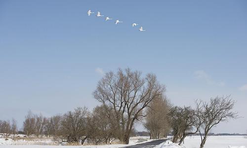 weiße schwäne ziehen am blauen winterhimmel